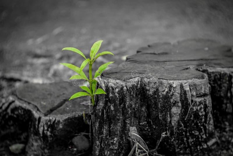 De nieuwe groei van oud concept Gerecycleerde boomstomp die een nieuwe spruit of een zaailing kweken Oud oud logboek met warme gr royalty-vrije stock foto