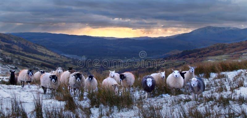 De nieuwsgierige schapen van het Lake District royalty-vrije stock foto's