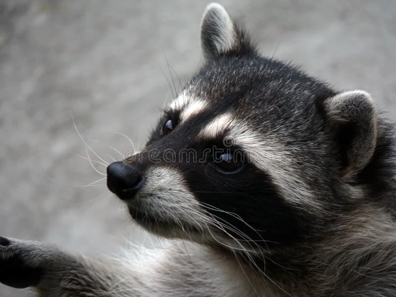 De nieuwsgierige wasbeer. royalty-vrije stock afbeelding