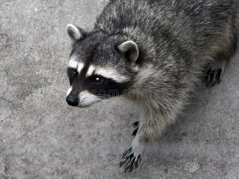De nieuwsgierige wasbeer. stock foto