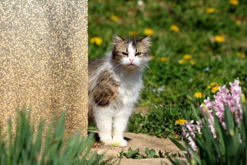 De nieuwsgierige witte en grijze harige binnenlandse kat die zich op hoek van familiehuis bevinden en direct in camera kijken omr royalty-vrije stock foto