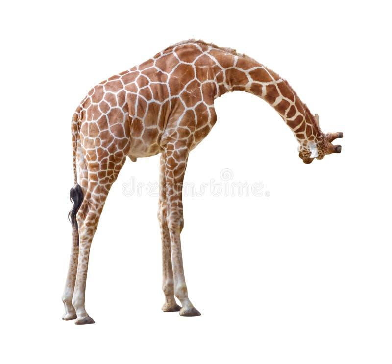 De nieuwsgierigheidsknipsel van de giraf stock foto