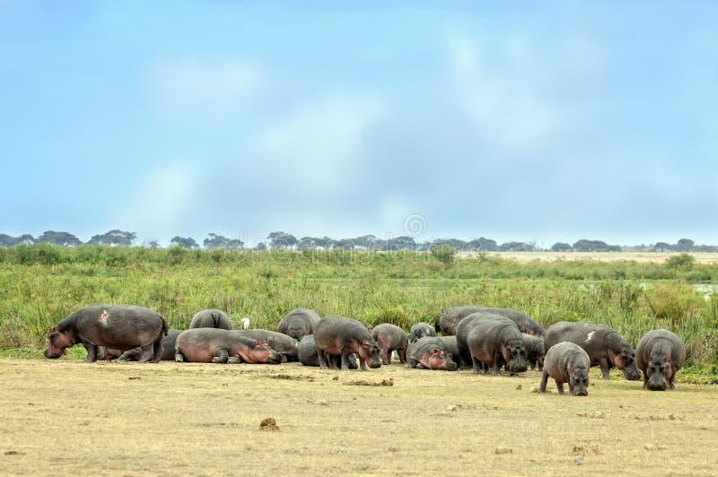 De nijlpaarden zonnebaden op de zon voor moeras royalty-vrije stock foto's