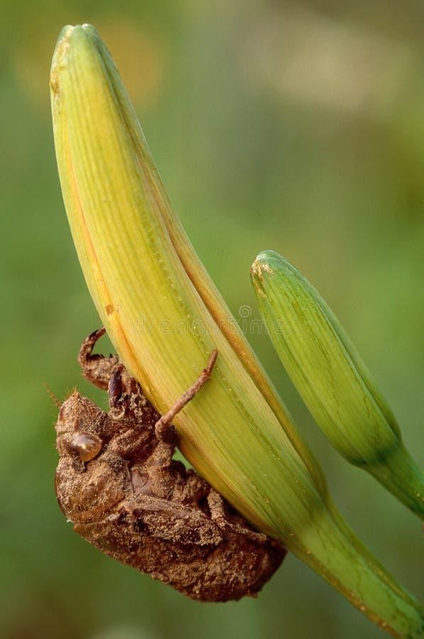 De nimfgeval van de cicade royalty-vrije stock foto