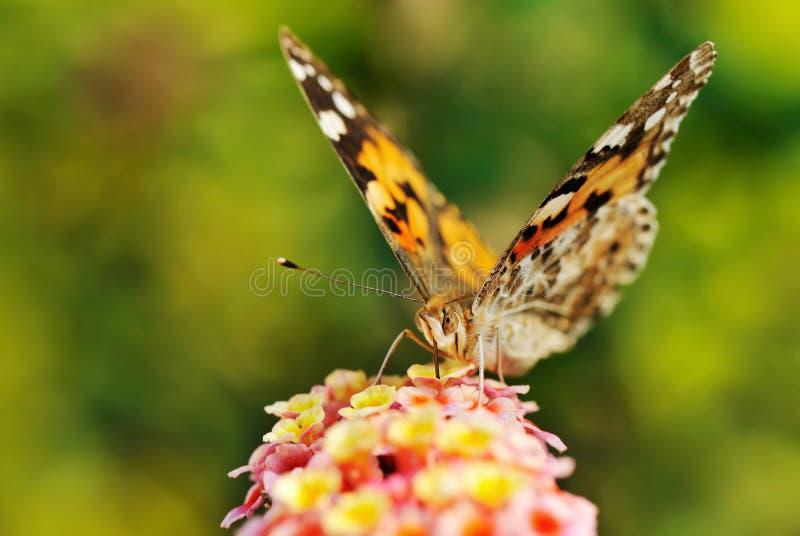 De nippende nectar van de vlinder van bloem royalty-vrije stock fotografie