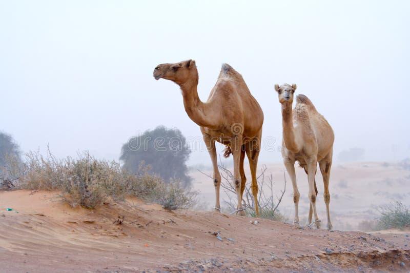 De nomaden van de woestijn stock foto
