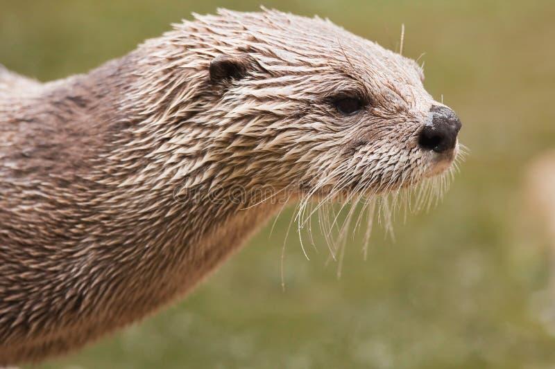 De Noordamerikaanse Otter van de Rivier royalty-vrije stock afbeeldingen