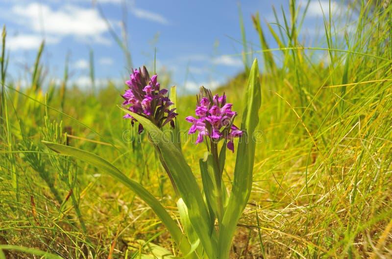 De noordelijke Orchidee van het Moeras (purpurella Dactylorhiza) royalty-vrije stock afbeelding