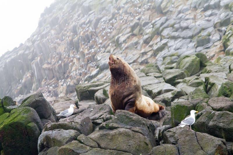 De Noordelijke Zeeleeuw (zeeleeuw Steller). Stock Afbeeldingen