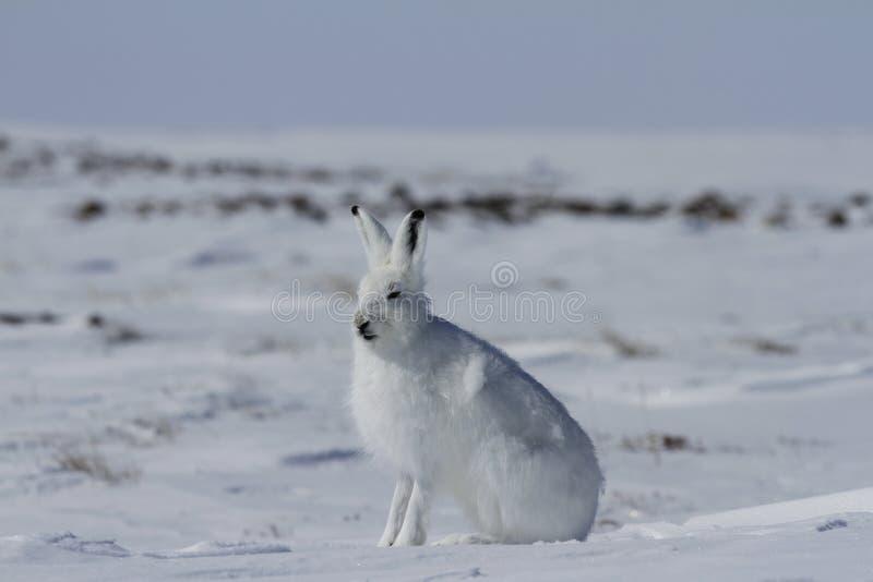 De noordpool arcticus zitting van hazenlepus op sneeuw en het afwerpen van zijn de winterlaag stock foto's