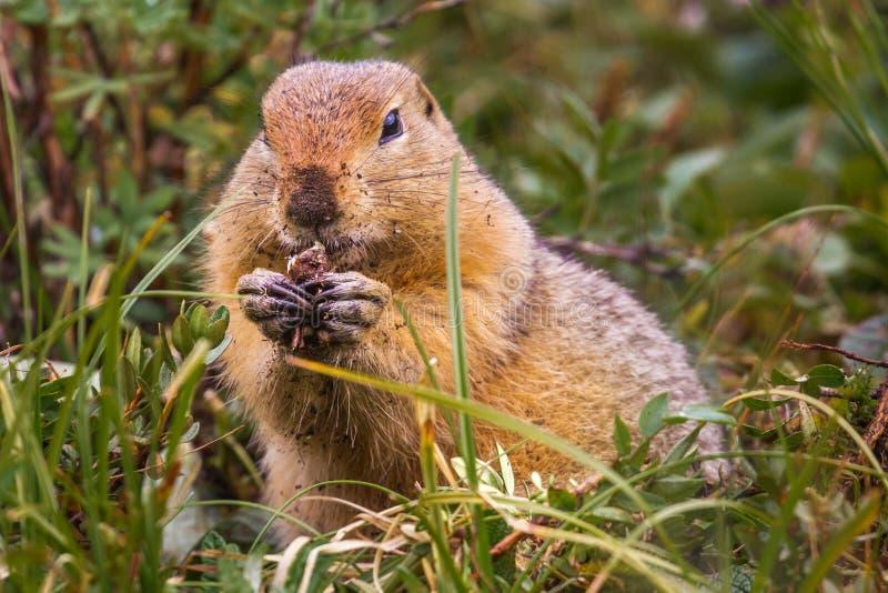 De noordpool Eekhoorn van de Grond stock foto's