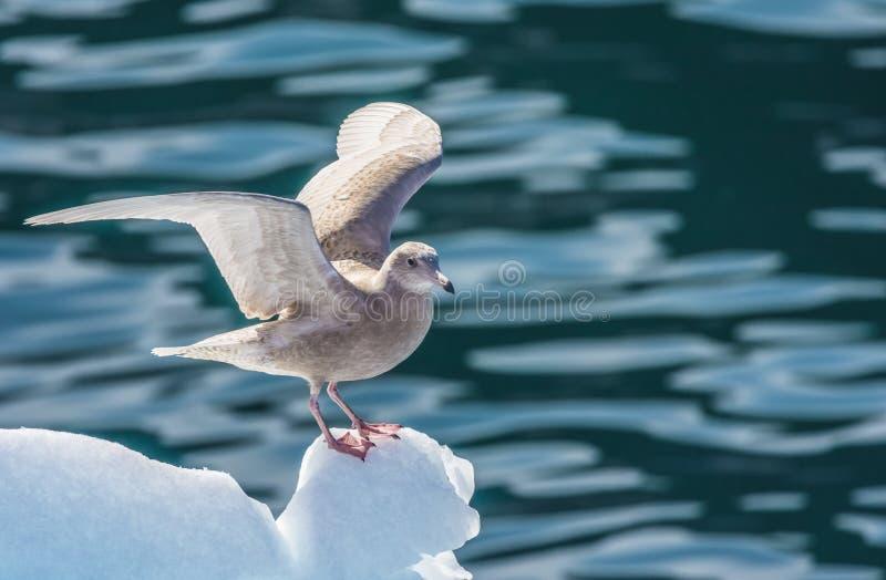 De noordse stormvogel stijgt van het uiteinde van een ijsberg in de Disko-Baai op, G stock fotografie