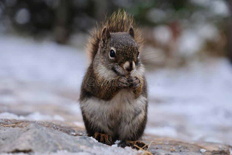 De noot van de eekhoornholding in de winter royalty-vrije stock afbeelding