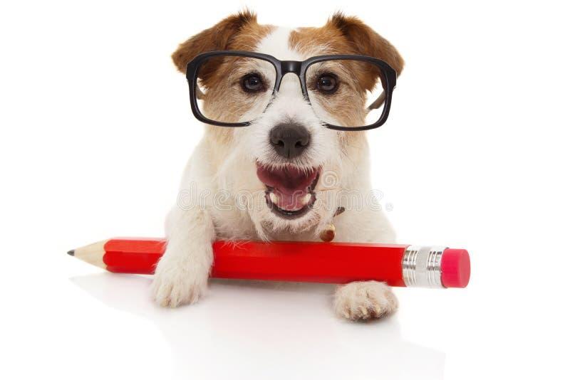 De nuevo a concepto de la escuela Perro feliz con un glassesl rojo gigante del ANG del lápiz Aislado en el fondo blanco foto de archivo libre de regalías