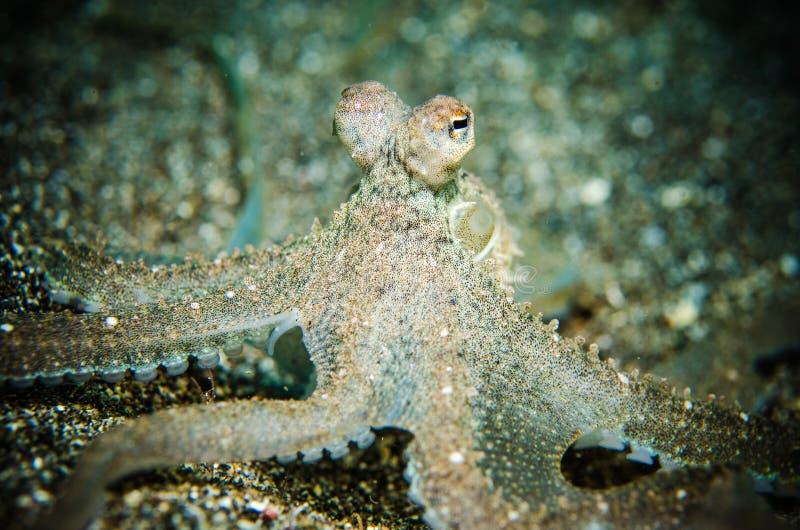 De octopus is bewust bunaken sulawesi Indonesië onderwater stock fotografie