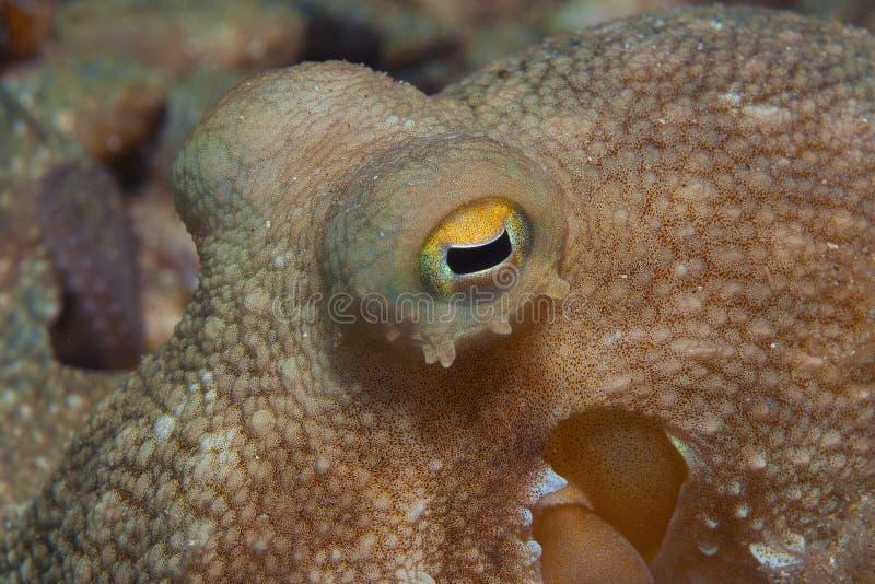 De octopus is gecamoufleerd royalty-vrije stock afbeeldingen