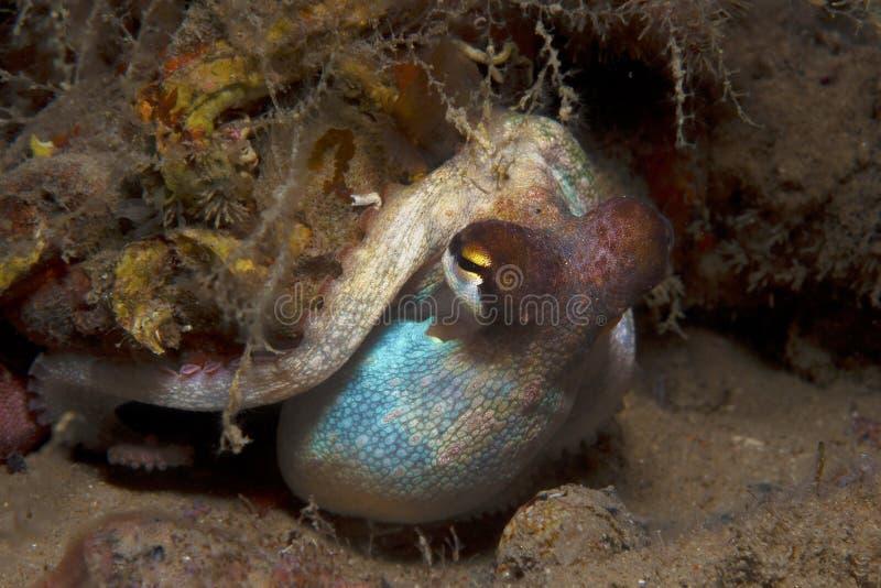 De octopus is gecamoufleerd royalty-vrije stock afbeelding