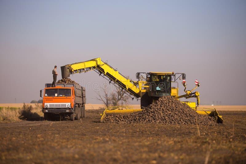 14 de octubre de 2014 ucrania kiev Trabajos cauc?sicos jovenes de un hombre durante la cosecha en el campo, remolacha cargada en  fotos de archivo libres de regalías