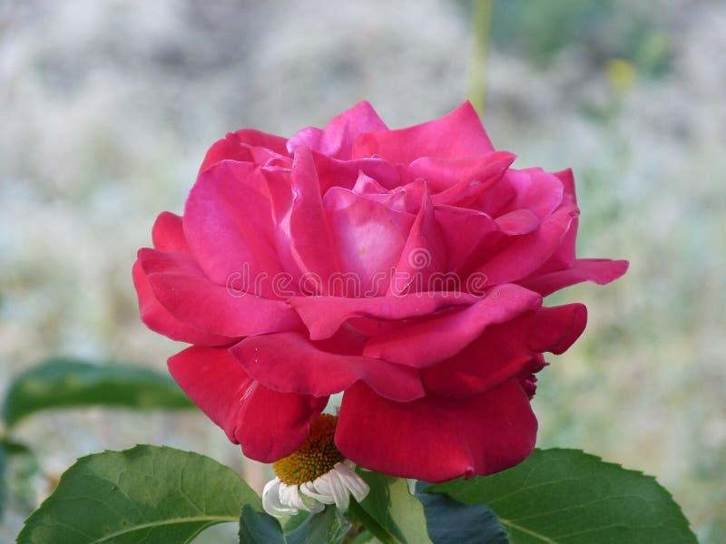 De Oekraïne, het gebied van Donetsk, Druzhkovka, bloemen van mijn tuin, krasnyya nam toe, stock afbeeldingen