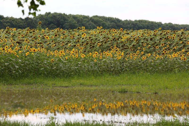 De Oekraïne, Kiev Een groot gebied van zonnebloemen wordt weerspiegeld in het meer stock afbeelding