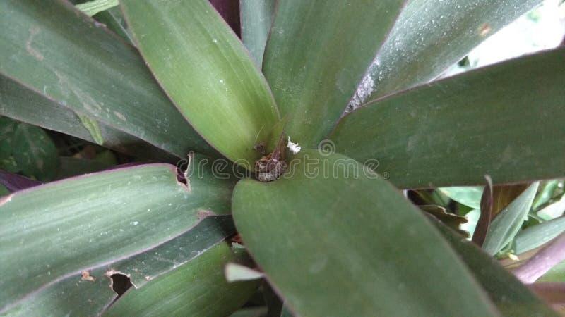 De oesterinstallatie of tradescantia of rhoeo verkleuren stock fotografie