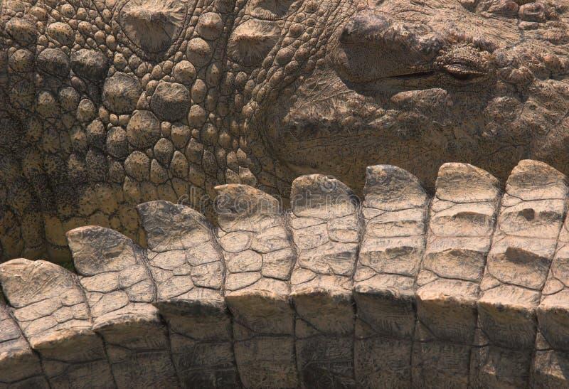 De ogen en de staart van de krokodil royalty-vrije stock foto's