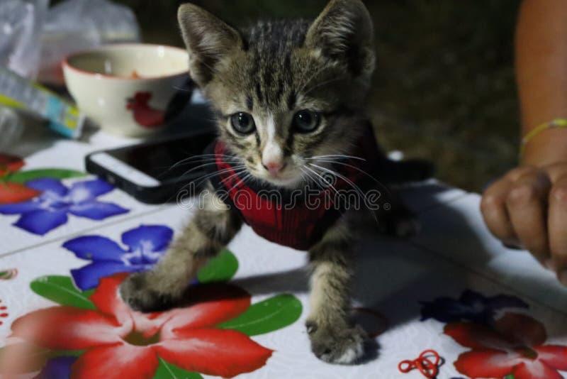 De ogen en zien Één Thais katje, klein lichaam, leuke, gestreepte en mooie kleuren onder ogen royalty-vrije stock fotografie