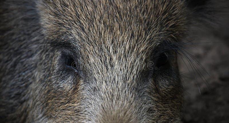 De ogen van de beer
