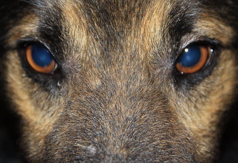 De ogen van de hond royalty-vrije stock afbeelding