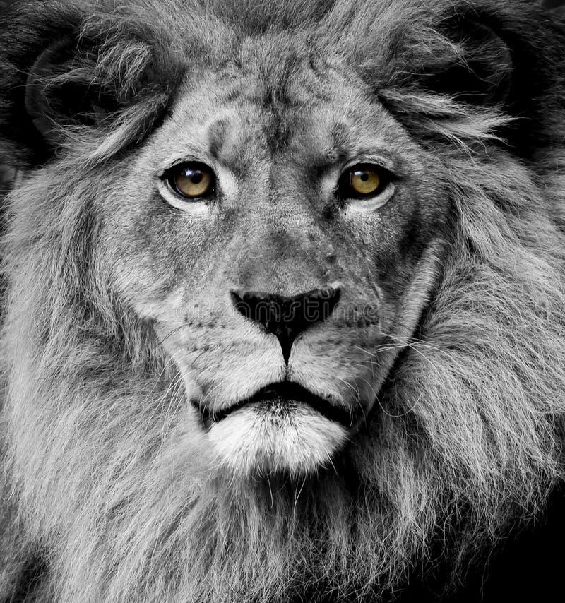 De ogen van de leeuw royalty-vrije stock afbeelding