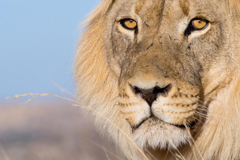 De ogen van de leeuw royalty-vrije stock foto