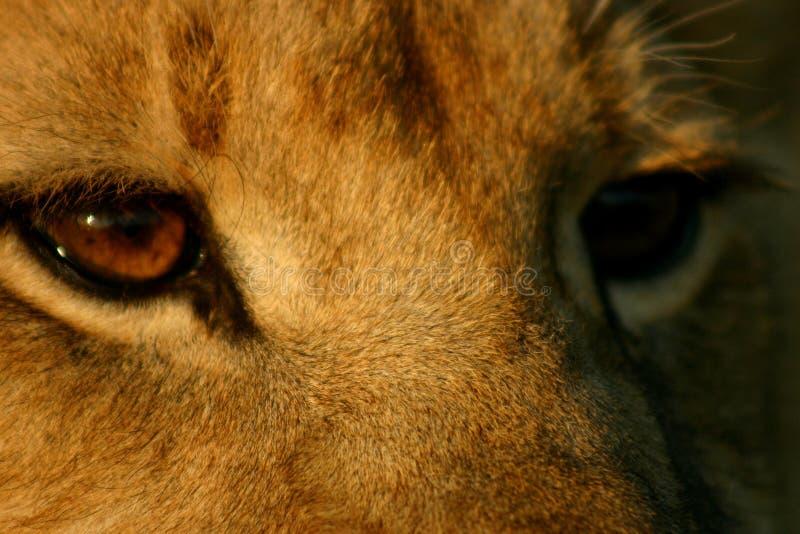 De ogen van de leeuw stock afbeelding
