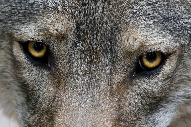 De Ogen van de wolf stock afbeeldingen