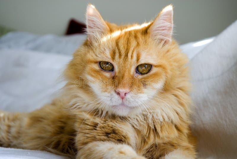 De ogen van katten stock foto's