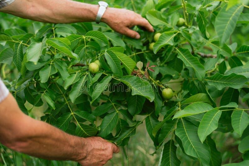 De okkernoot groeit op een boom De mens kweekt noten in de tuin Productie van noten op het landbouwbedrijf stock fotografie