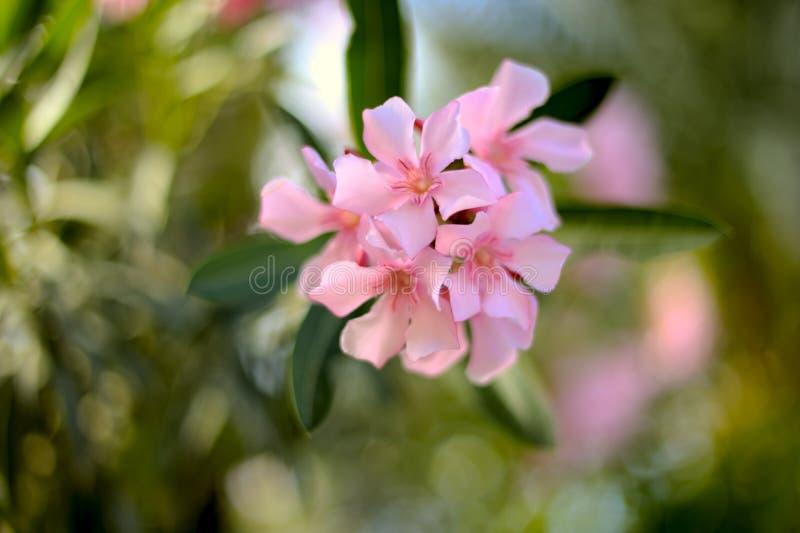 De Oleander Van Nerium Royalty-vrije Stock Afbeeldingen