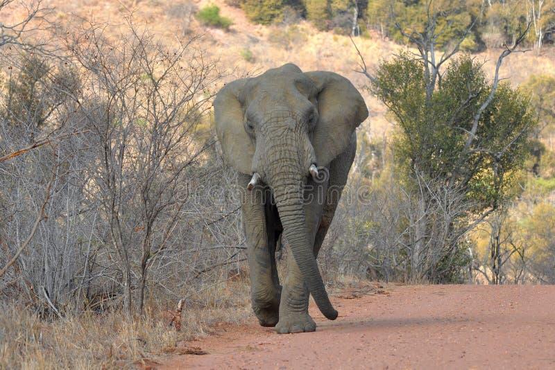 De olifant achtervolgt de auto, stock foto's