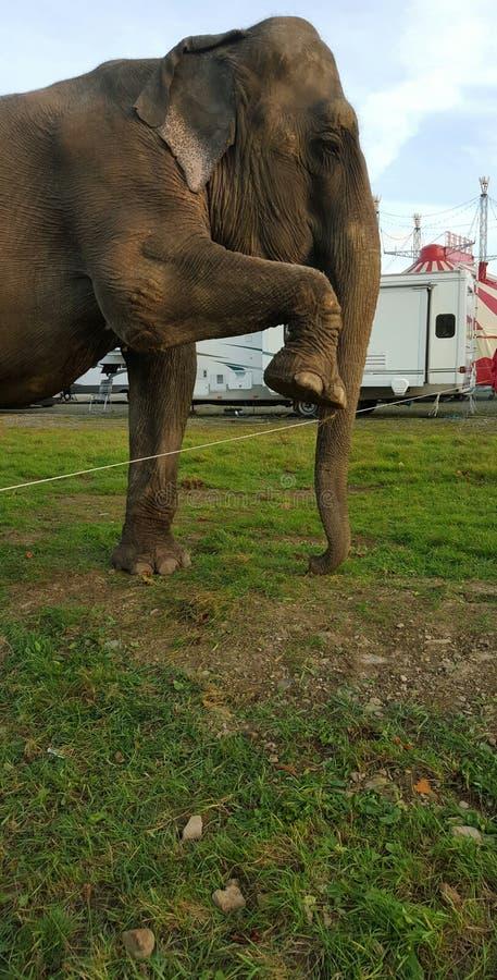 De olifant breekt uit stock fotografie