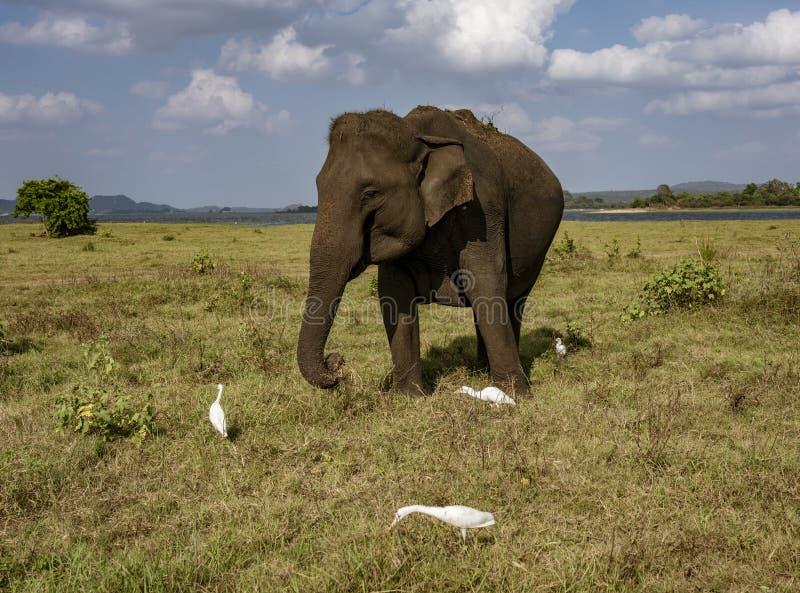 De olifant eet Gras dat door Aigrettes wordt omringd Plukkend Insecten royalty-vrije stock afbeelding