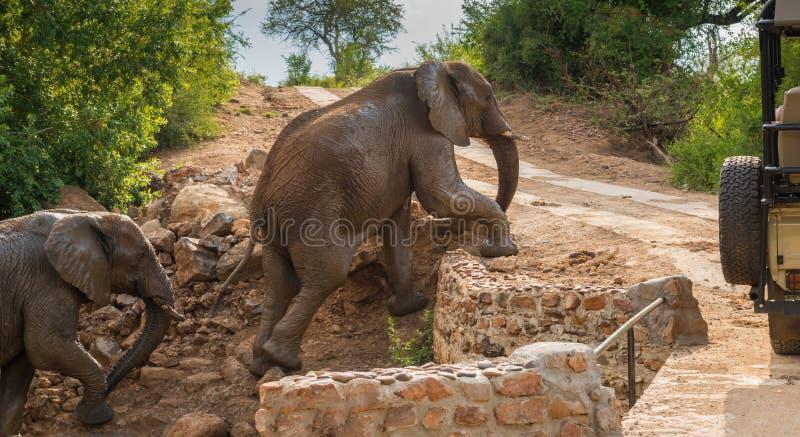 De olifant en de baby beklimmen voor safarivoertuig stock afbeelding