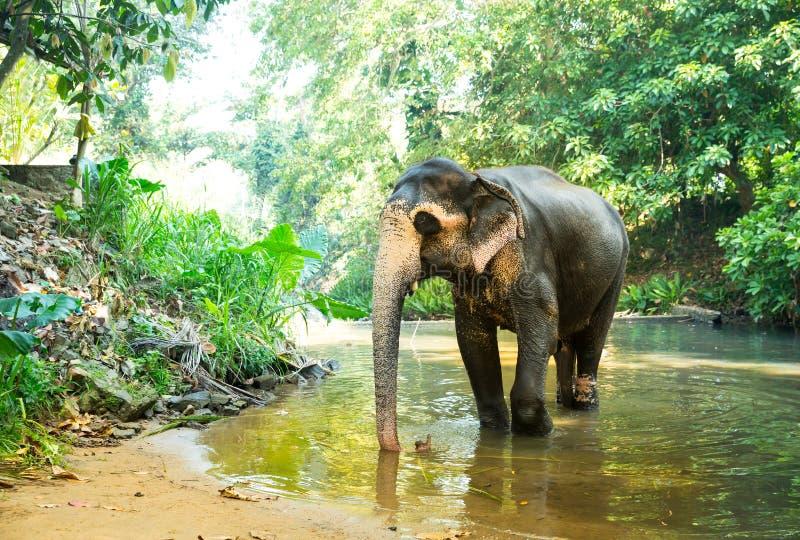 De olifant van Ceylon drinkt water van rivier in wildernis stock afbeelding