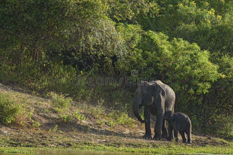 De Olifant van Srilankan - Elephas-maximusmaximus, Sri Lanka royalty-vrije stock afbeelding