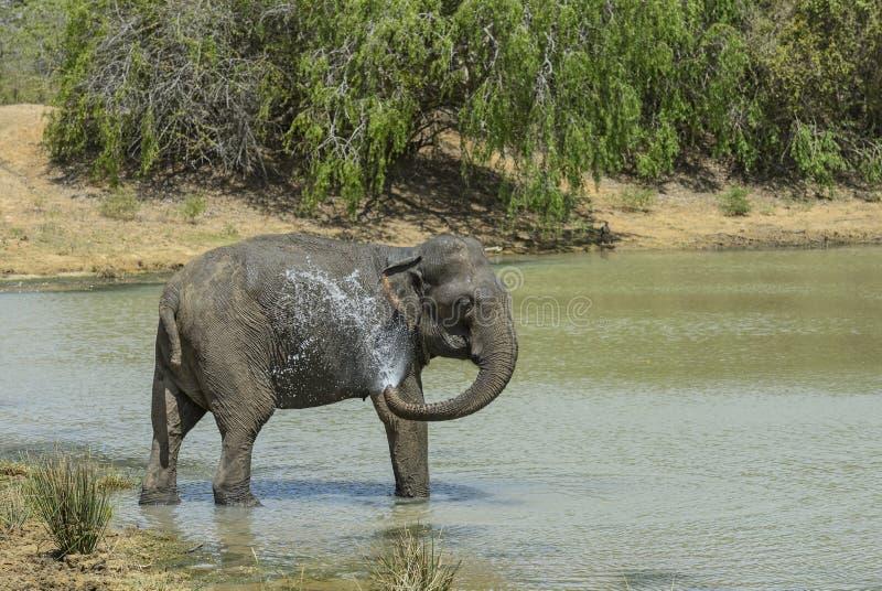 De Olifant van Srilankan - Elephas-maximusmaximus, Sri Lanka royalty-vrije stock afbeeldingen