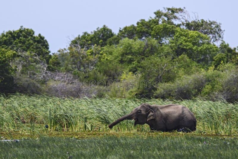 De Olifant van Srilankan - Elephas-maximusmaximus, Sri Lanka stock fotografie