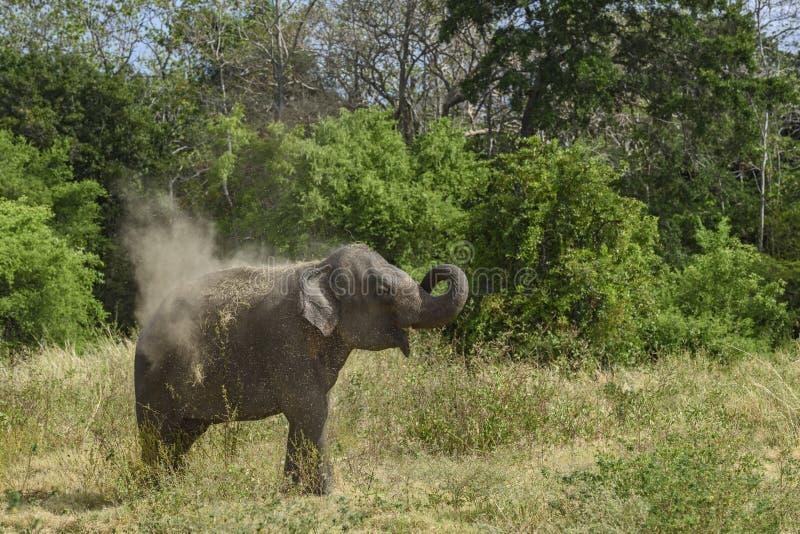 De Olifant van Srilankan - Elephas-maximusmaximus, Sri Lanka stock foto's