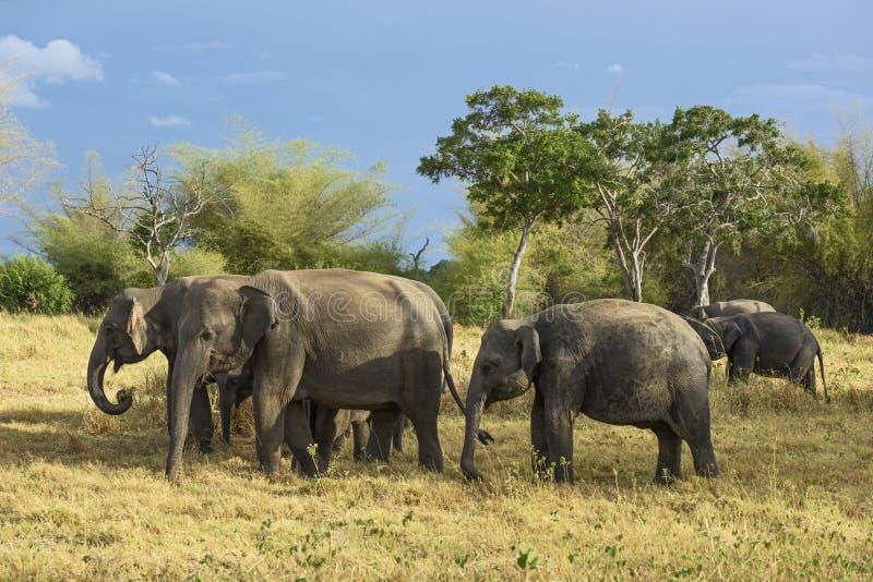 De Olifant van Srilankan - Elephas-maximusmaximus, Sri Lanka royalty-vrije stock fotografie