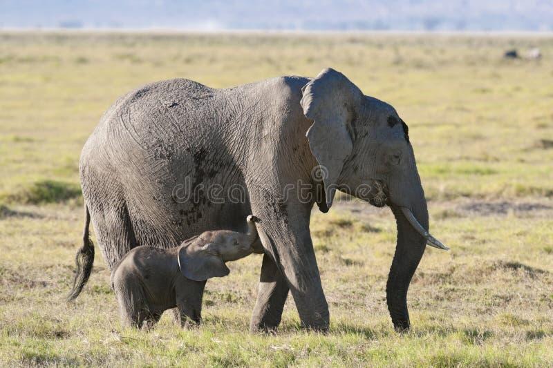 De olifant zoogt haar kalf stock foto