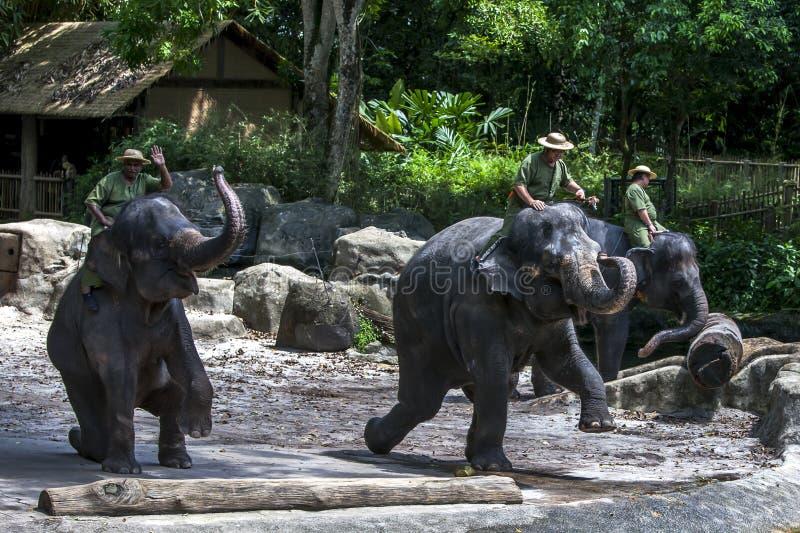 De olifanten presteren tijdens de olifant tonen bij de Dierentuin van Singapore in Singapore royalty-vrije stock fotografie