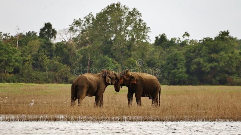 De olifanten van Ceylon in harmonie (elephasmaxima) stock afbeelding