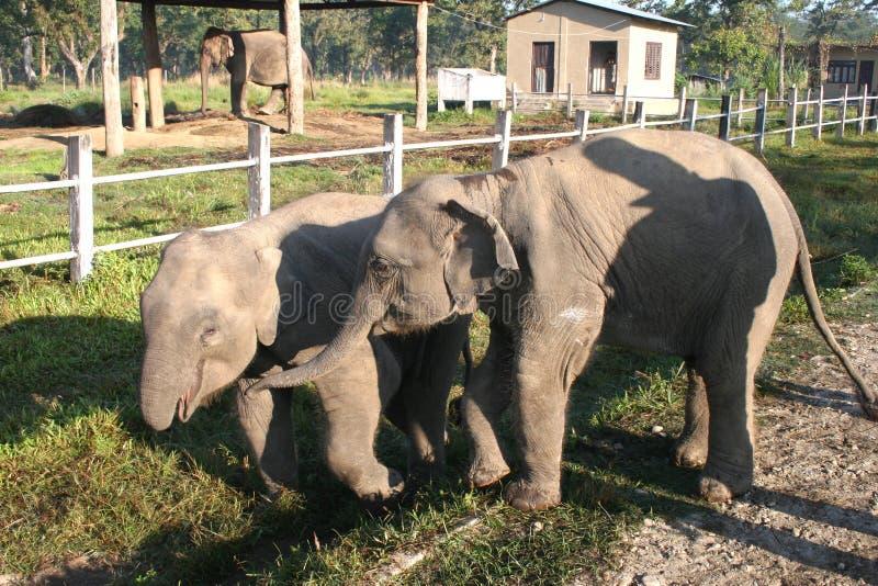 De Olifanten van de baby - Nepal royalty-vrije stock foto